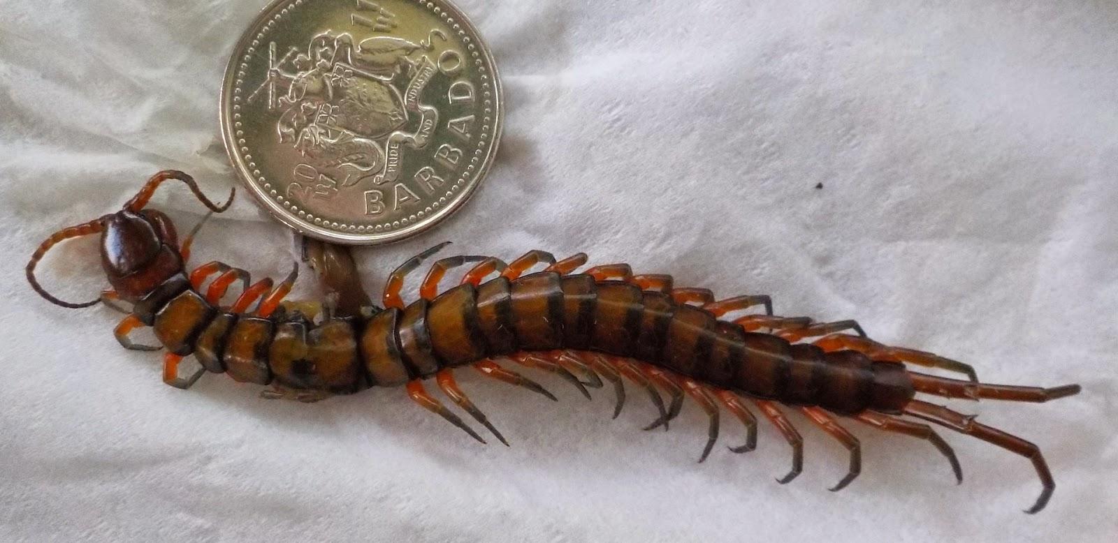 ThirdSpace: Amazonian Giant Centipede