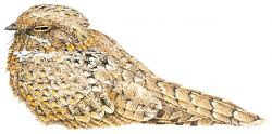 Egyptian Nightjar