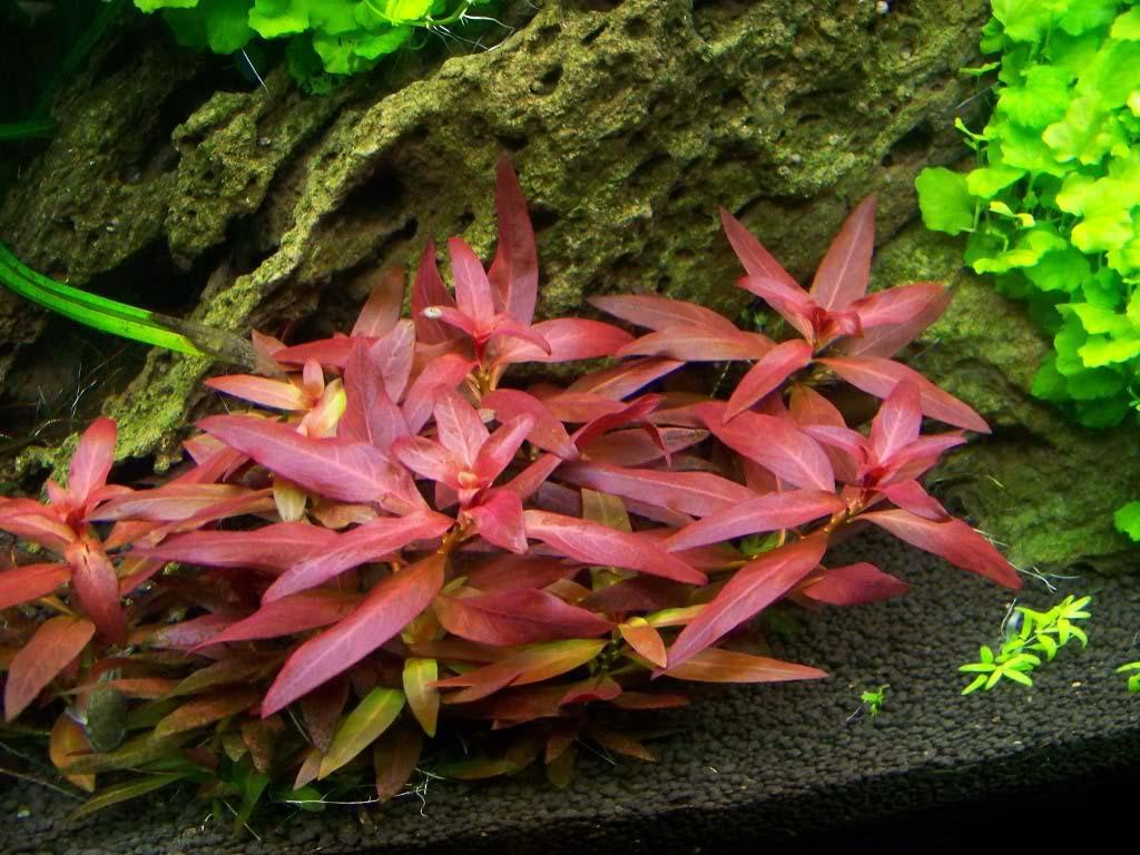 Cây hồng điệp đẹp rực rỡ trong hồ thủy sinh