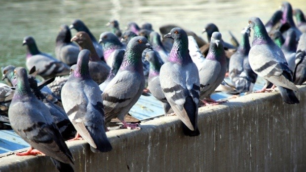 Get to the Root of Your Property's Pigeon Issues - Home Design my