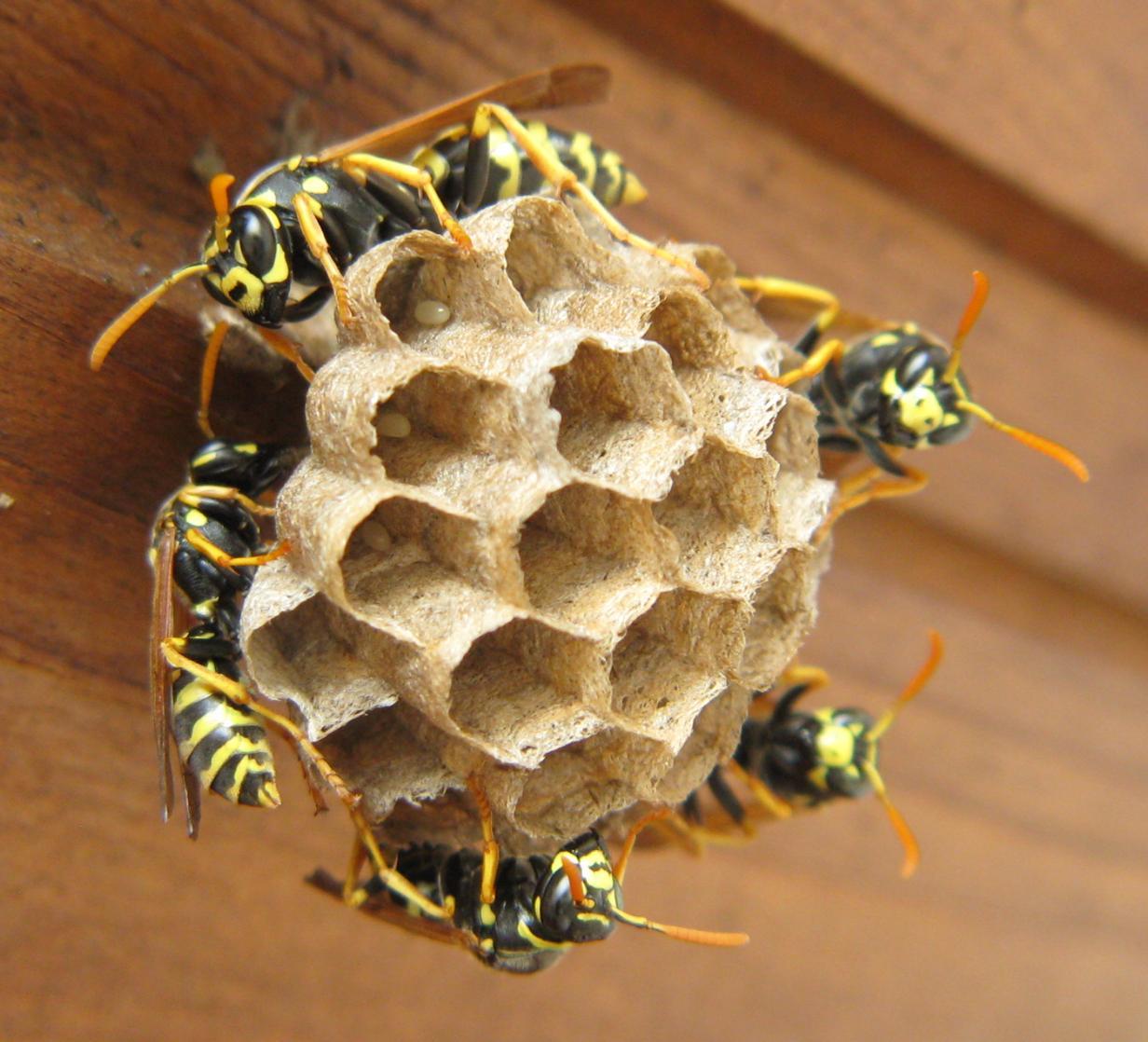 Moni bloggt Wespennest der Haus Feldwespe auf unserem Balkon