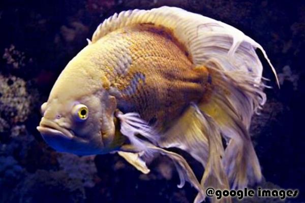 Ikan hias oscar slayer