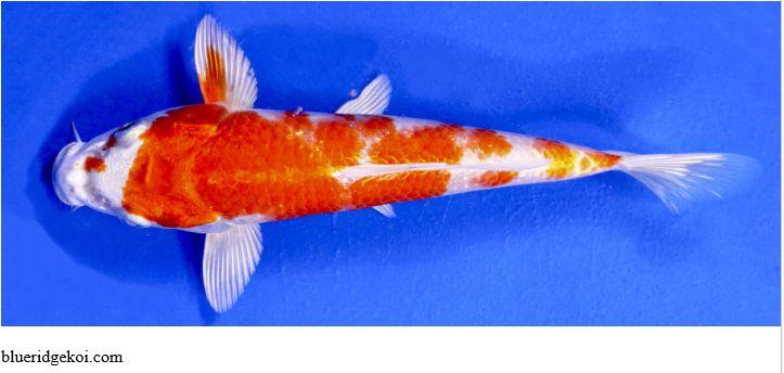 Gambar Ikan Koi Hariwake