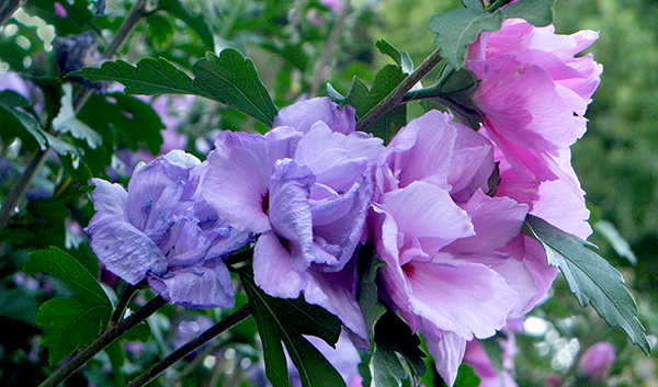 pink and purple roses of sharon