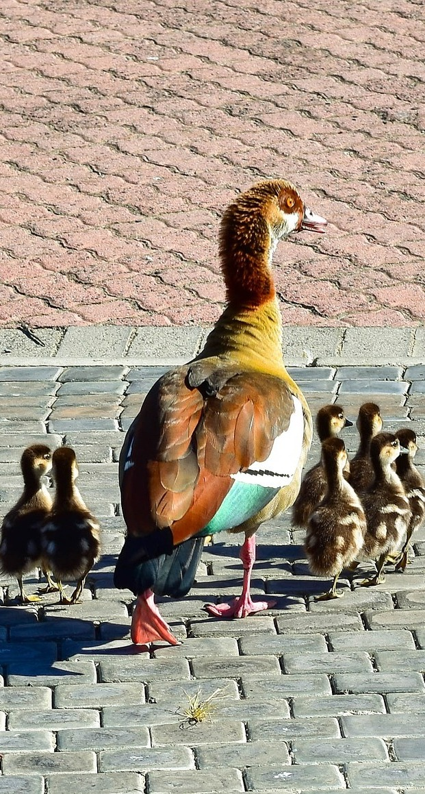 Egyptian goose with her goslings.
