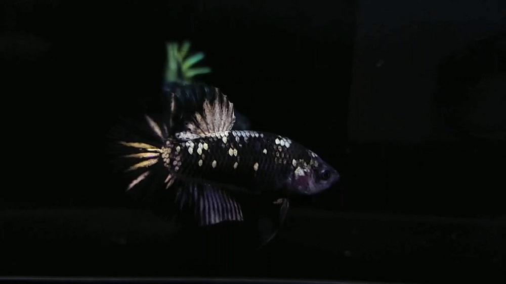 Cupang Avatar Copper - Sejarah dan Jenis Ikan Cupang Avatar