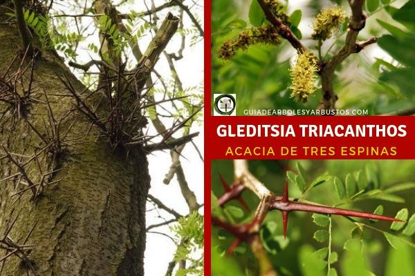 Gleditsia triacanthos, árbol fijador de nitrógeno que fue introducido en Europa en el siglo XVIII.