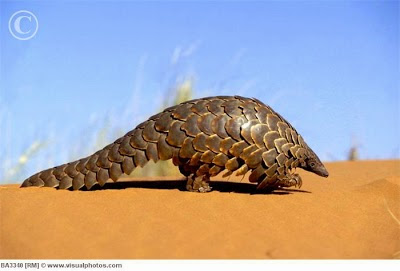 Temminck´s ground pangolin