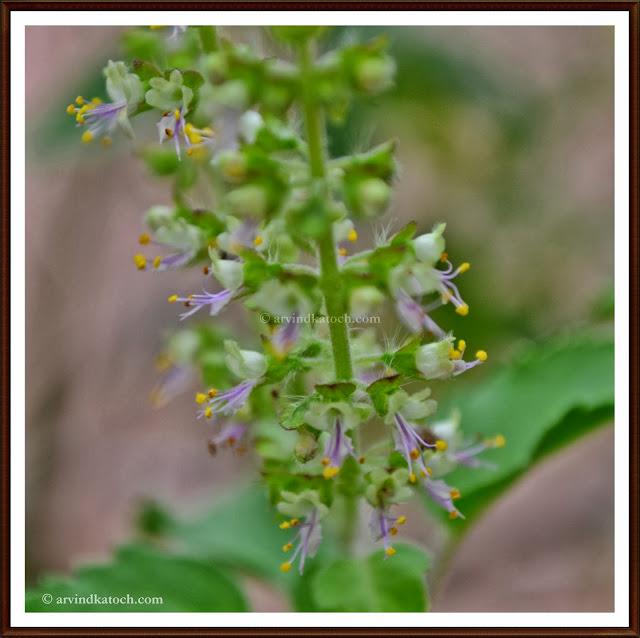 Tulasi, Holy Basil,Ocimum Tenuiflorum. flowers, Tulasi flowers,