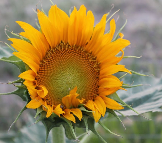 where to plant sunflowers