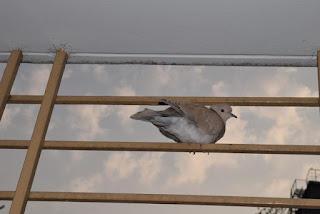 European collared dove