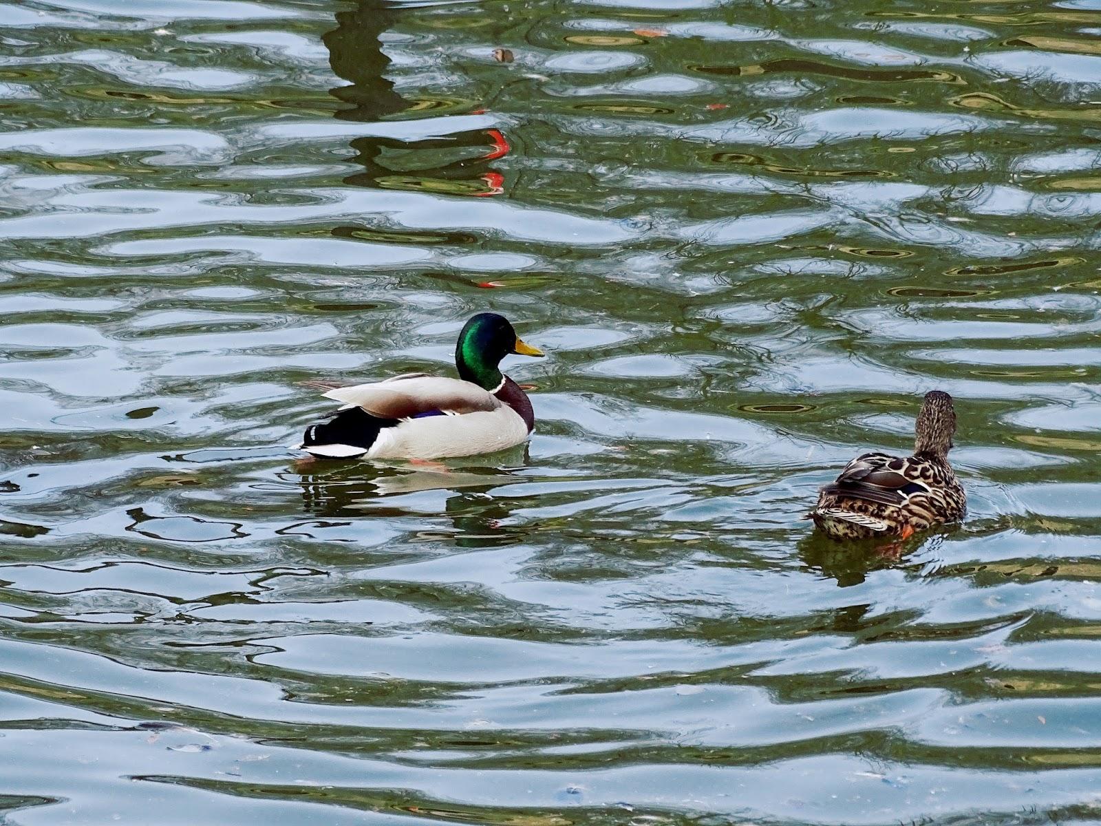 pływajace kaczki