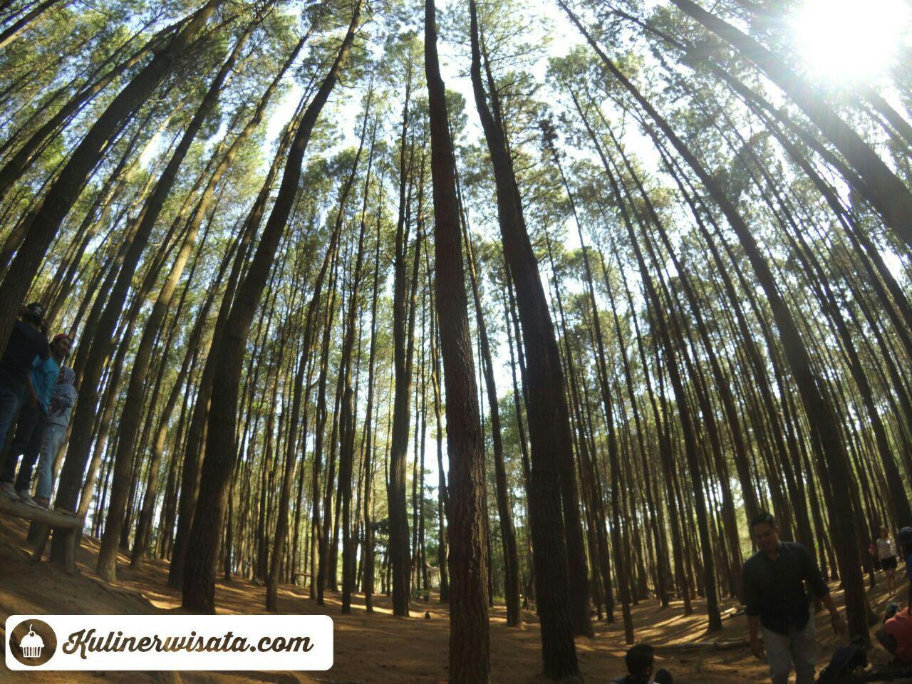 Unduh 880+ Background Foto Hutan Pinus Paling Keren