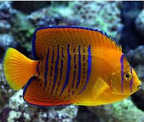 ikan hias termahal Clarion Angelfish
