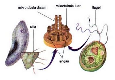 gambar silia dan flagela