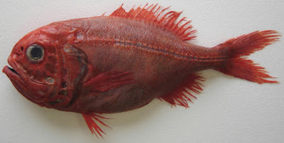 Ikan Orange Roughy
