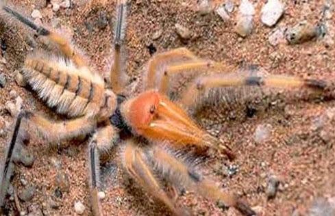 Aranha-Camelo ou Escorpião do Vento