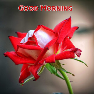 good morning images pink rose