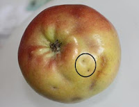 Apple Maggot damageA