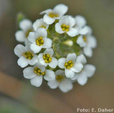 Noccaea magellanica