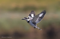 Pied Kingfisher - Birds In Flight Photography Cape Town with Canon EOS 7D Mark II