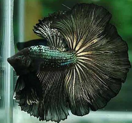 Halfmoon blackgold, cantik dengan kombinasi hitam keemasan