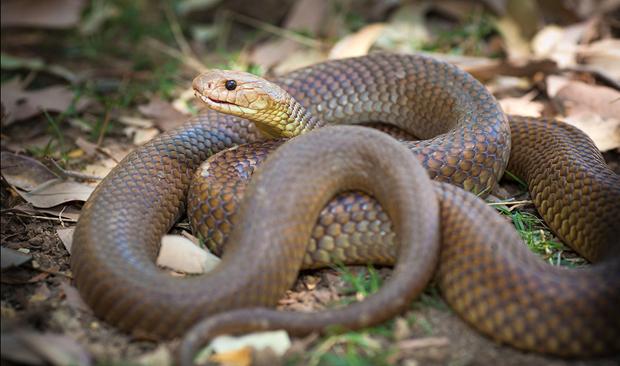 ular Australian Brown Snake
