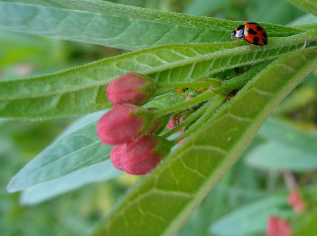Ladybug (and a few aphids) on milkweed