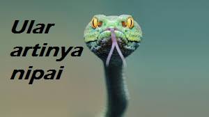 bahasa karonya hewan Ular = Nipai