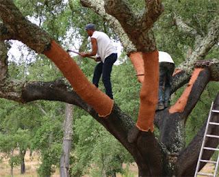 Klasifikasi Quercus Suber