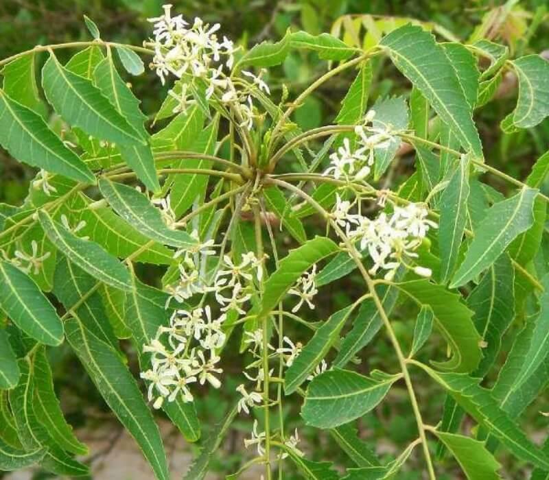Pokok Semambu (Neem)