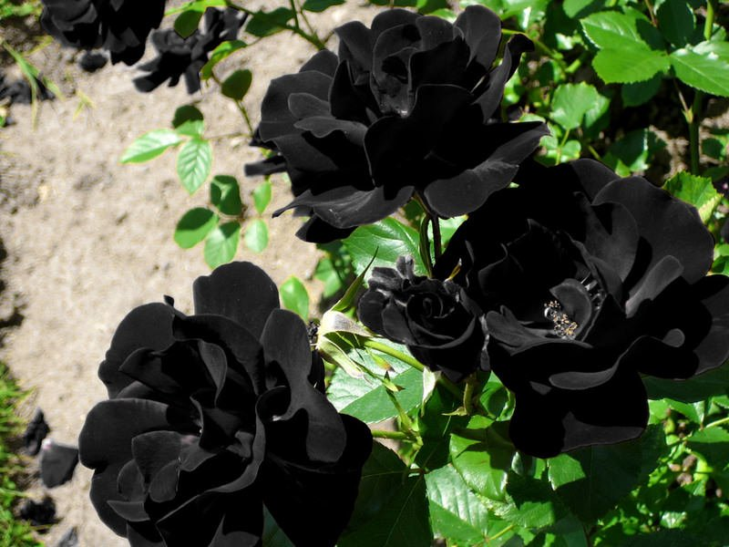 Black Roses | Bunga Ros Hitam ~ Wordless Wednesday