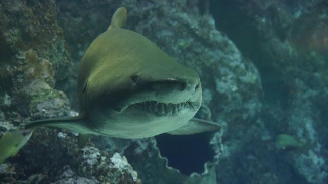 Curiosities about Sharks
