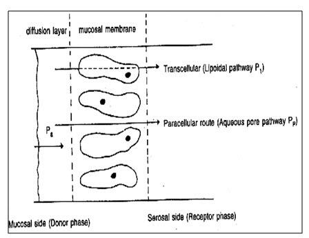 Mechanism of transmucosal permeation