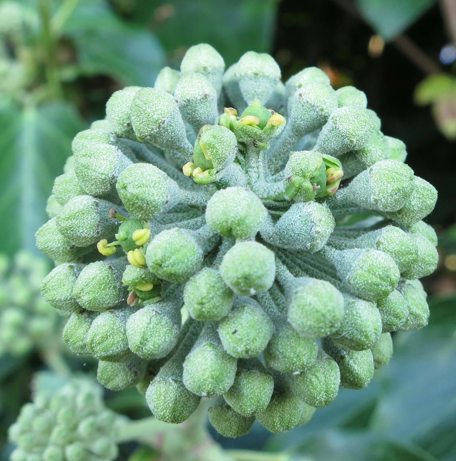 Close up of ivy flowers in ball - showing emerging anthers