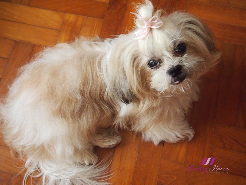 shih tzu life span in human years pyometra in dogs medical surgery costs and euthanasia 8070
