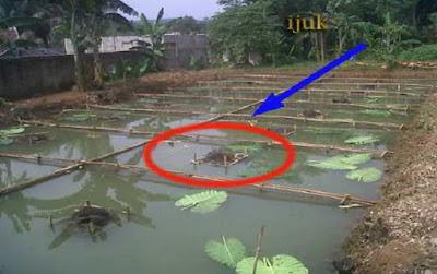 Kolam pemijahan ikan gurami - pustakapengetahuan.com