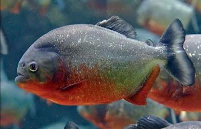 Manfaat Ikan Bawal Air Tawar