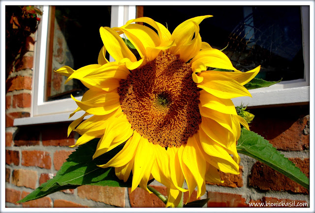 Giant Sunflowers ©BionicBasil® The Pet Parade 361