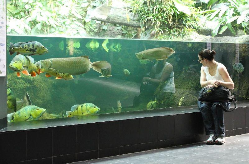 Gambar Teman Ikan Arwana Di Akuarium