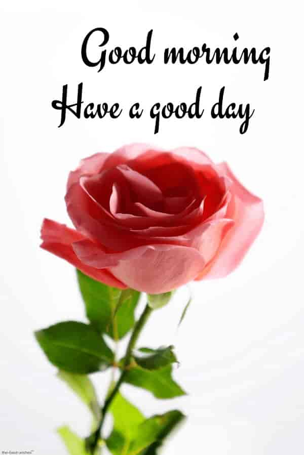 awesome good morning image with red rose have a good day