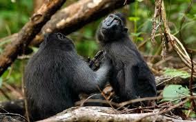 Обезьяны Хохлатые павианы улыбаются Индонезия В индонезийском Национальном парке Тангкоко в Сулавеси живут очень дружелюбные павианы, которые так привыкли к туристам, что даже улыбаются им при встрече.   В индонезийском Национальном парке Тангкоко в Сулавеси живут очень дружелюбные павианы, которые так привыкли к туристам, что даже улыбаются им при встрече.  Обезьяны Хохлатые павианы улыбаются  Хохлатые павианы регулярно знакомятся с туристами, гуляющими по парку. Одним из них оказался фотограф Ануп Шах, прибывший из Чиппенхэма (графство Уилтшир, Великобритания). Несмотря на то что он знал о возможности «близкого контакта» с павианами, улыбок никак не ожидал, передает Mirror.  Обезьяны Хохлатые павианы улыбаются   «Они были очень любознательны и смело приближались на расстояние вытянутой руки. Мы гостили в парке четыре недели, за это время павианы начали признавать нас и общаться», — рассказал Шах. Он фотографирует животных в дикой природе почти 20 лет и получившимся снимкам с улыбающимися мартышками был несказанно рад.     Хохлатые павианы славятся своей любовью к вниманию. В 2014 году в интернете вирусным стало селфи, которое одна из мартышек сделала на камеру британского фотографа Дэвида Слейтера. Из-за этого изображения даже разразился спор о том, можно ли считать снимки произведениями искусства, сделанными не человеком, и являются ли они объектами авторского права.