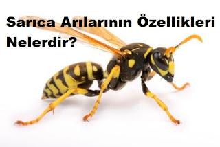 Sarıca Arılarının Özellikleri Nelerdir?