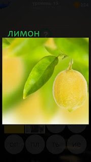 389 фото на дереве растут плоды лимона 19 уровень