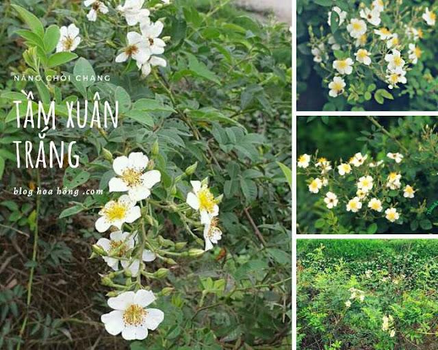 cây hoa hồng tầm xuân trắng