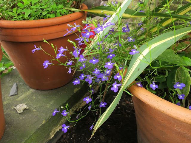 Lobelia flowering in stripey Yucca pot. 1st August 2020