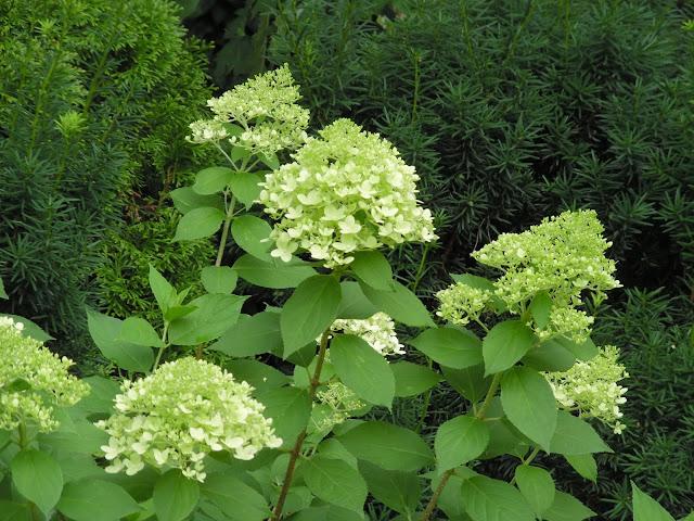 młode kwiatostany hortensji Limelight