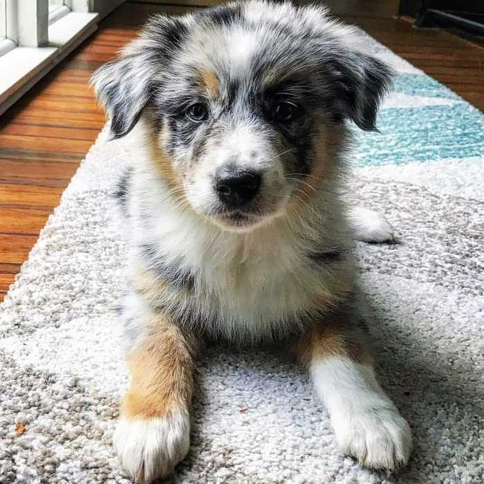 Training an Australian Shepherd