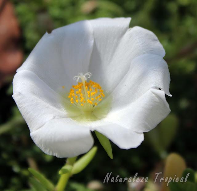 Variedad blanca de la flor de la planta Portulaca grandiflora