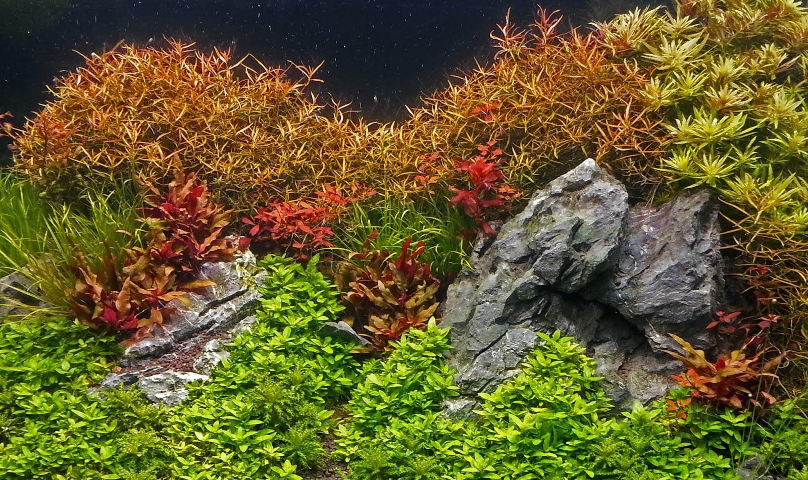Diệp tài hồng lá kim đẹp rực rỡ trong hồ thủy sinh